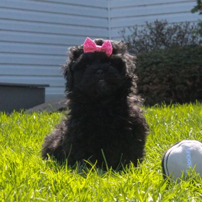 Violet - F1 Shihpoo female pupper for sale in Mercersburg, Pennsylvania