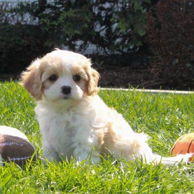 Willow Mae - F1 Cavachon female puppie for sale in Mercersburg, Pennsylvania