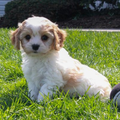Winnie - doggie F1 Cavachon male for sale at Mercersburg, Pennsylvania