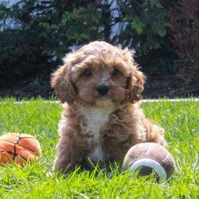 Zane - F1 Cavapoo pup for sale in Mercersburg, Pennsylvania
