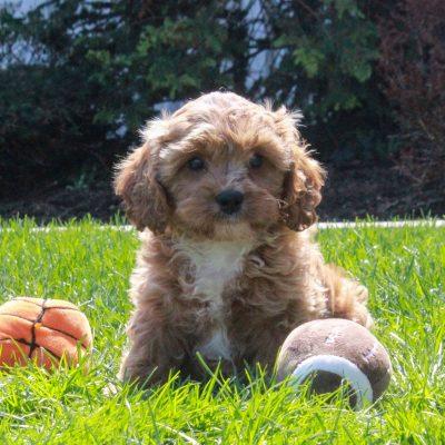 Zane - F1 Cavapoo pup for sale in Mercersburg, Pennsylvania