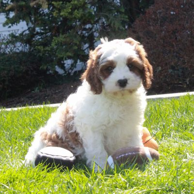Ziggy - F1 Cavapoo male pupper for sale at Mercersburg, Pennsylvania
