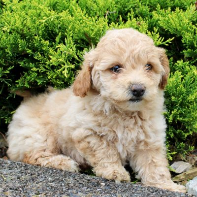 Sage - F1 Bichpoo pupper for sale in Kinzers, Pennsylvania