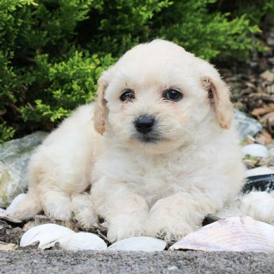 Sally - F1 Bichpoo female pup for sale near Kinzers, Pennsylvania