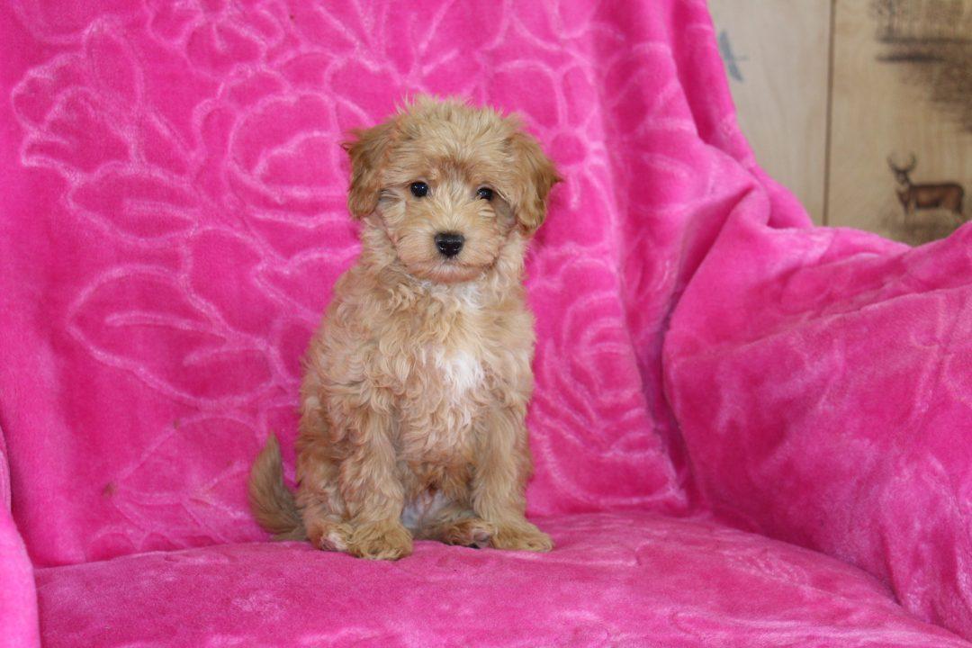 Leo - Malti Poo male doggie for sale at Ohio