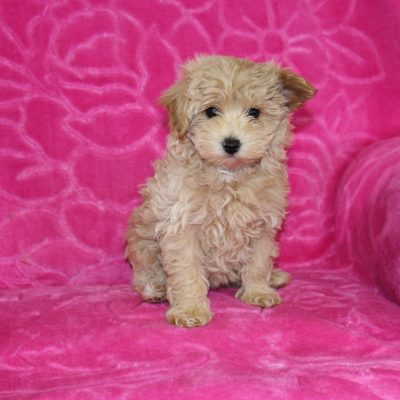 Lola - Malti Poo female pup for sale near Ohio