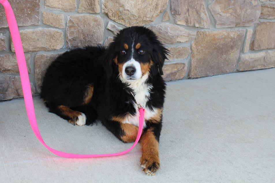 Dora - AKC Bernese Mountain puppie for sale near Grabill, Indiana