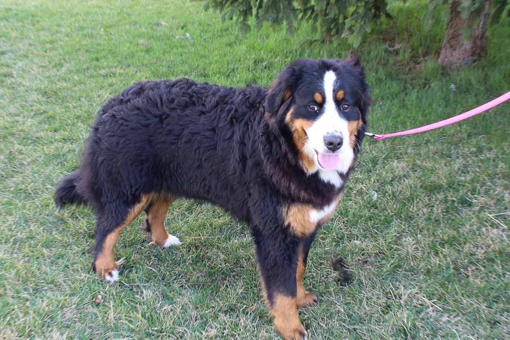 Jenna - AKC Bernese Mountain pup for sale at Grabill, Indiana