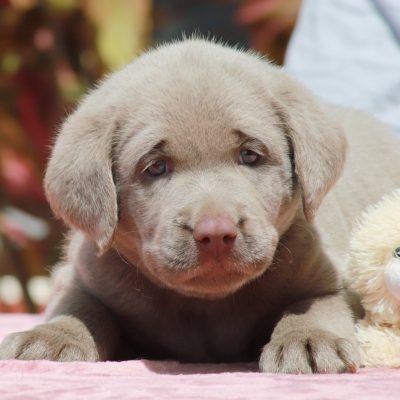 Lisa - DEUKC Labrador Retriever female pupper for sale in Punta Gorda, Florida