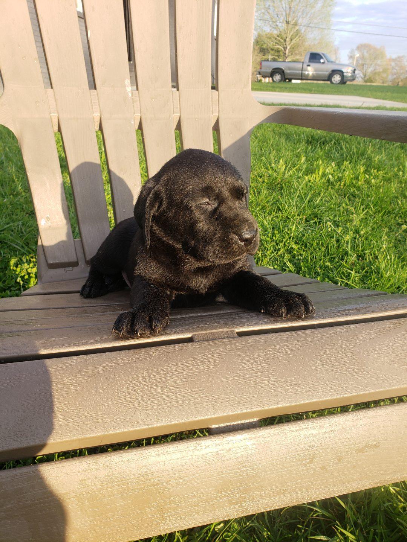 AKC Labrador Retriever male pup for sale in Loretto, Tennessee
