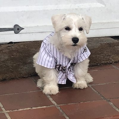 RayRay - AKC Miniature Schnauzer male puppy for sale in Houston, Texas