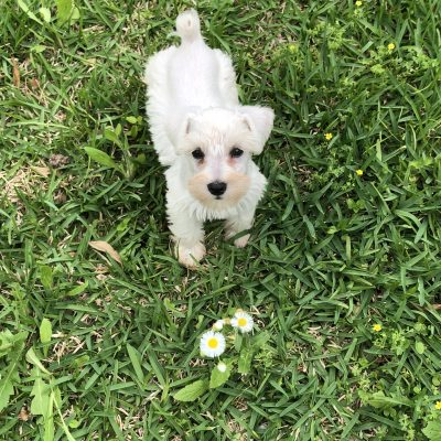 Layla - AKC Miniature Schnauzer pup for sale at Houston, Texas