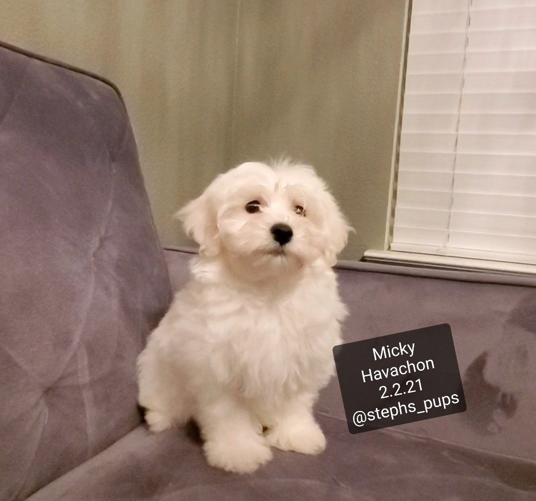 Micky - male Havachon pup for sale at Katy, Texas