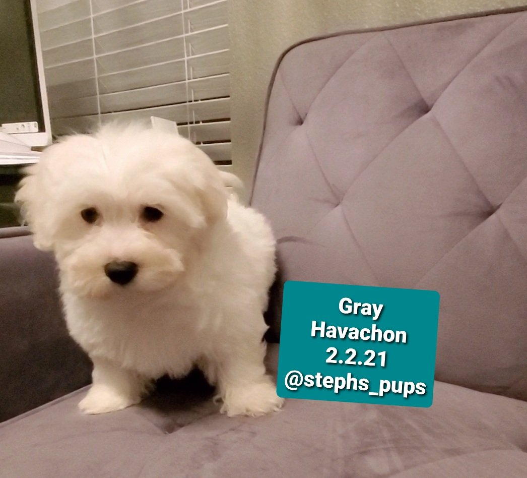 Gray - pupper Havachon for sale at Katy, Texas