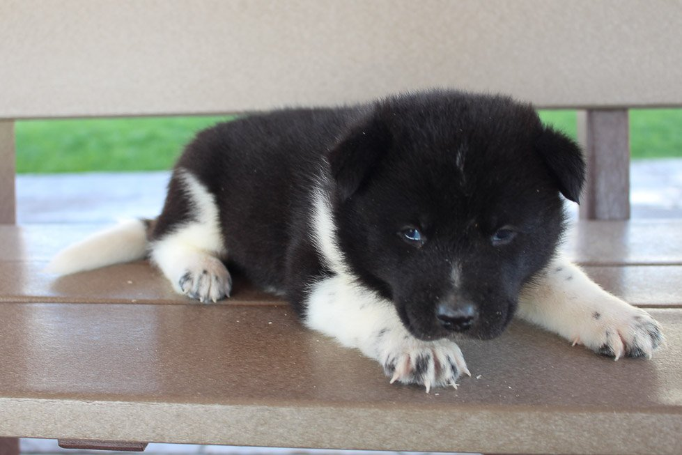 Cole - puppy AKC Akita male for sale in New Haven, Indiana