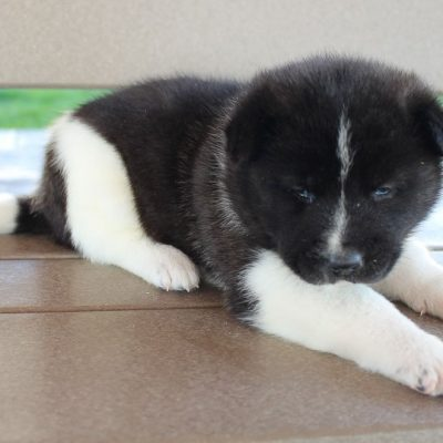 Kiki - AKC Akita female pupper for sale at New Haven, Indiana