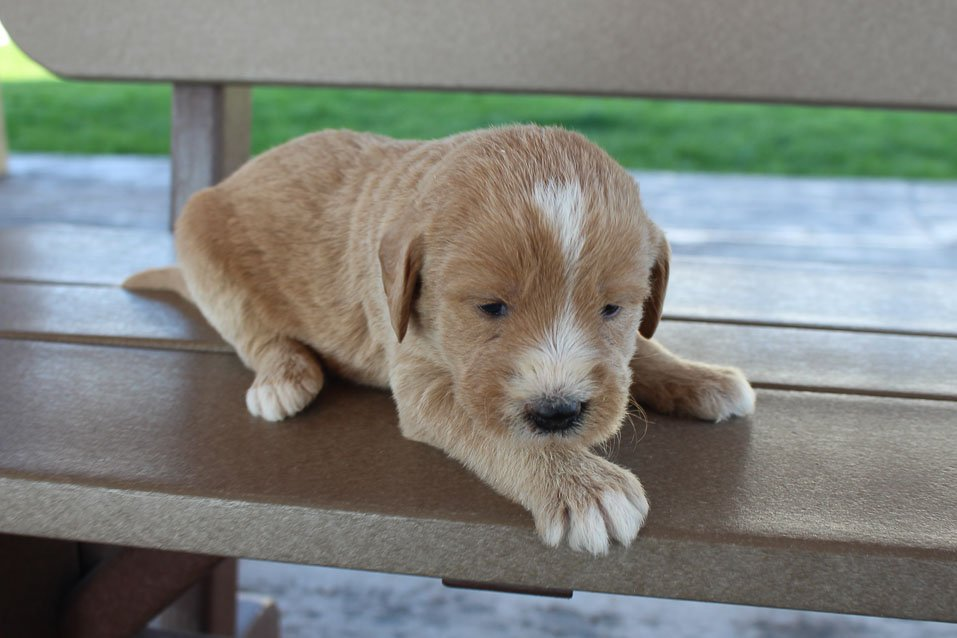 Riley - Labradoodle female puppie for sale near New Haven, Indiana