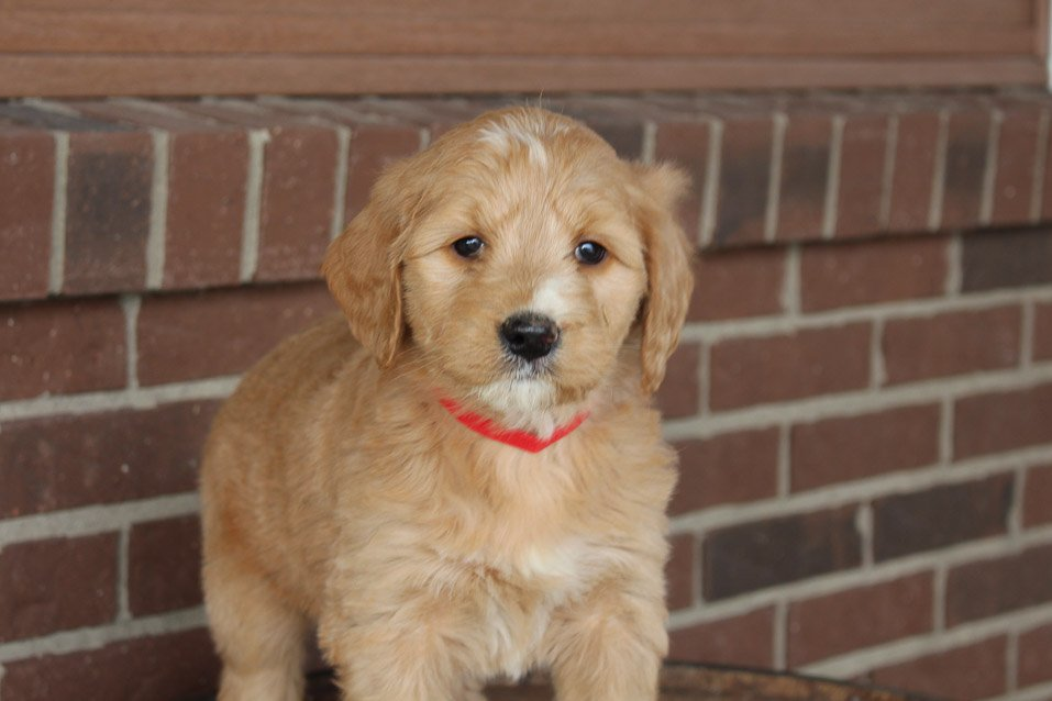 Mickey - doggie Mini Goldendoodle female for sale at Woodburn, Indiana