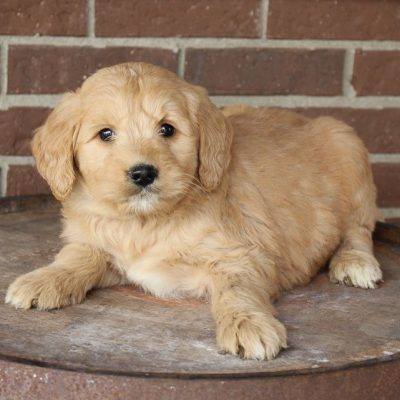 Dax - Mini Goldendoodle male puppy for sale near Woodburn, Indiana