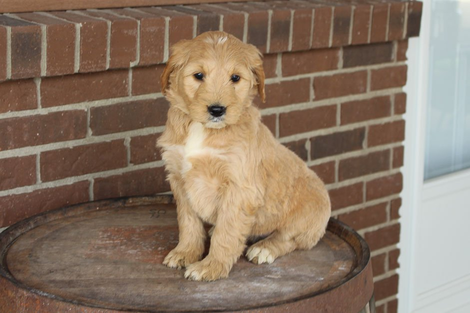 Mandy - Mini Goldendoodle female pupper for sale at Woodburn, Indiana