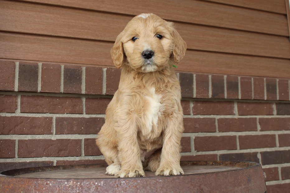 Molly - Mini Goldendoodle female doggie for sale in Woodburn, Indiana