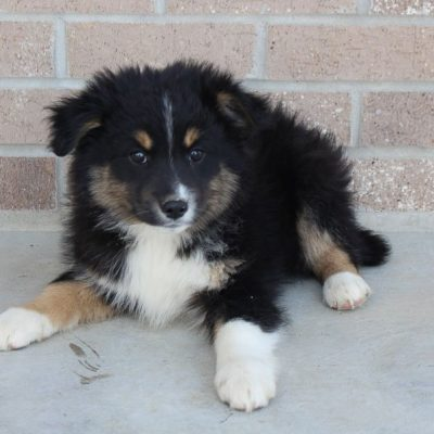 Maverick - Miniature Australian Shepherd male puppie for sale at Spencerville, Indiana