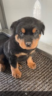 Aj - AKC Rottweiler male pup for sale at LaGrange, Indiana