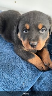 Archie - male AKC Rottweiler puppie for sale in LaGrange, Indiana