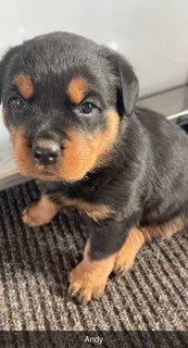 Andy - AKC Rottweiler male pupper for sale near LaGrange, Indiana