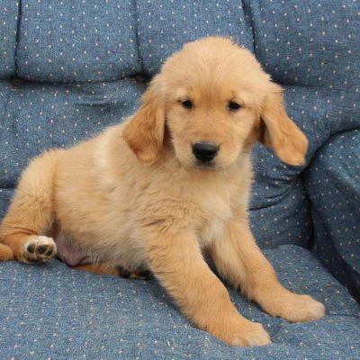 Queenie - puppy AKC Golden Retriever female for sale in Spencerville, Indiana