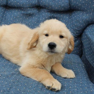 Lassie - AKC Golden Retriever female pup for sale at Spencerville, Indiana