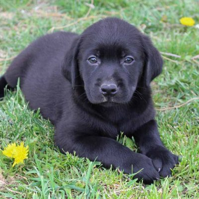 Tony - puppy AKC Labrador Retriever male for sale in Spencerville, Indiana