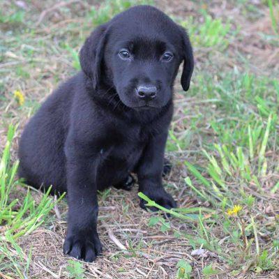 Teddie - AKC Labrador Retriever male pupper for sale near Spencerville, Indiana
