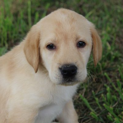 Justin - AKC Labrador Retriever male puppie for sale in Spencerville, Indiana