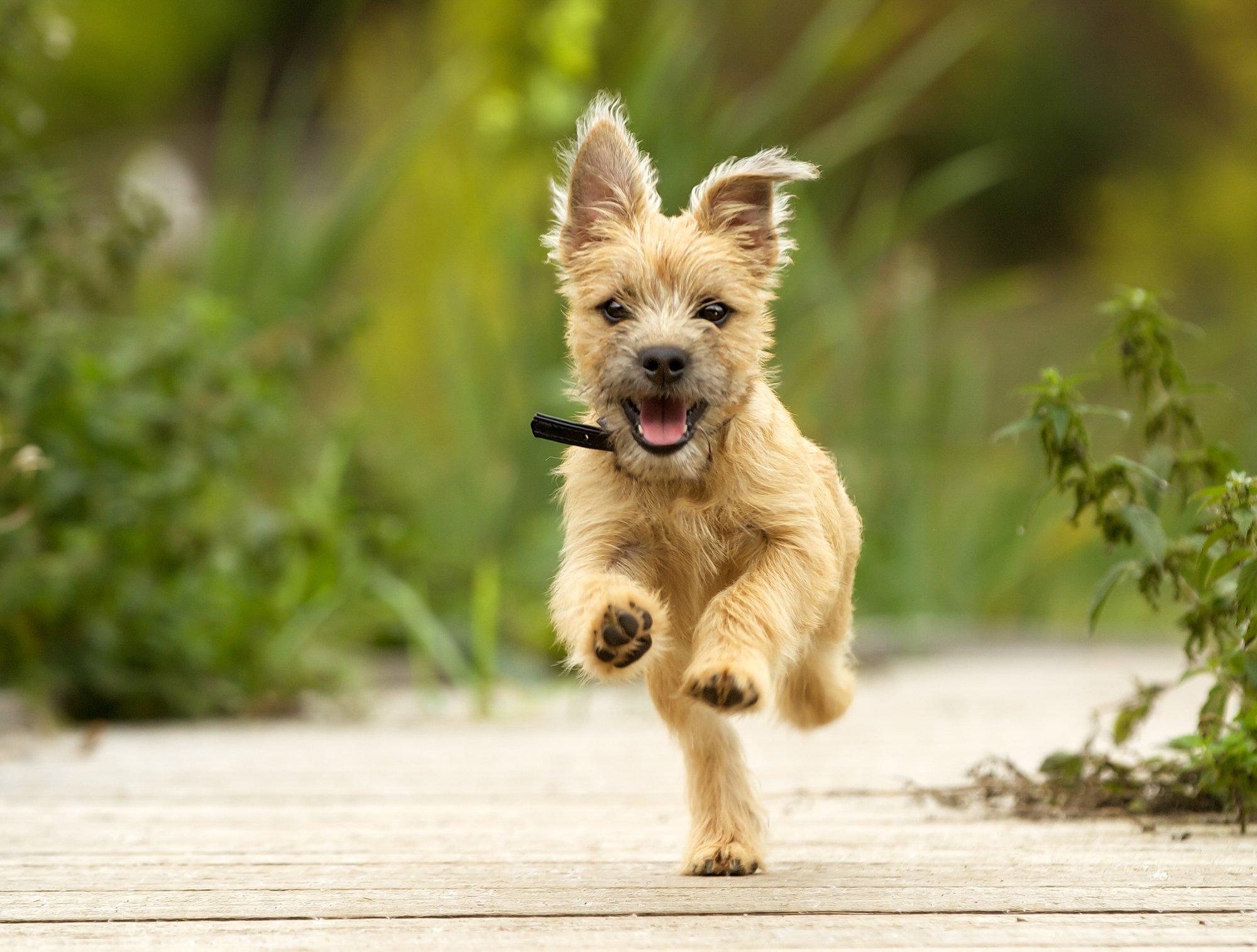 Cairn Terrier pupper running outdoors