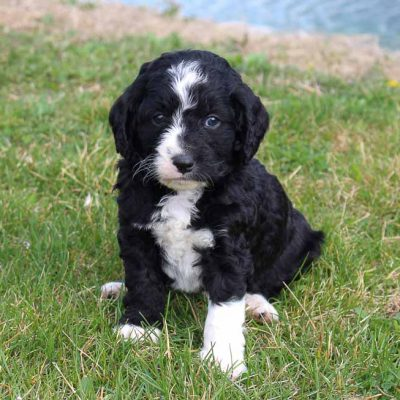 Joey - Bernedoodle male puppy for sale near Grabill, Indiana