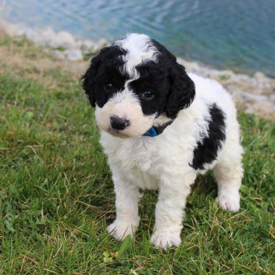 Jace - pup Bernedoodle male for sale at Grabill, Indiana