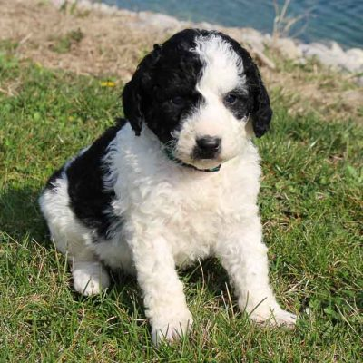 Cameron - doggie Bernedoodle male for sale at Grabill, Indiana