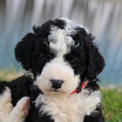 Theo - Bernedoodle male puppie for sale in Grabill, Indiana