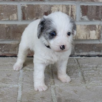 Dawn - Bernedoodle female pup for sale at Grabill, Indiana