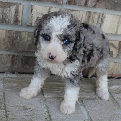Crystal - F1b Mini Bernedoodle female pupper for sale in Grabill, Indiana