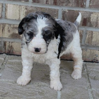 Abbie - female F1b Mini Bernedoodle pup for sale near Grabill, Indiana