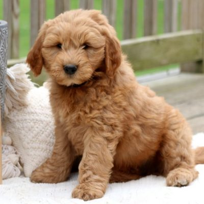 Andy - Goldendoodle male pup for sale in Lancaster, Pennsylvania
