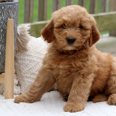 Avery - Goldendoodle male pupper for sale at Lancaster, Pennsylvania