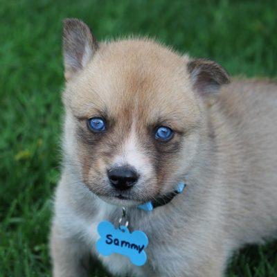 Sammy - Pomsky-Husky mix male pup for sale at South Witley, Indiana