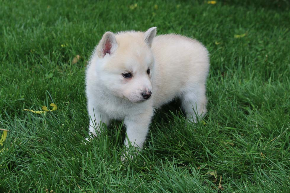 Randy - Pomsky-Husky male puppy for sale in South Witley, Indiana