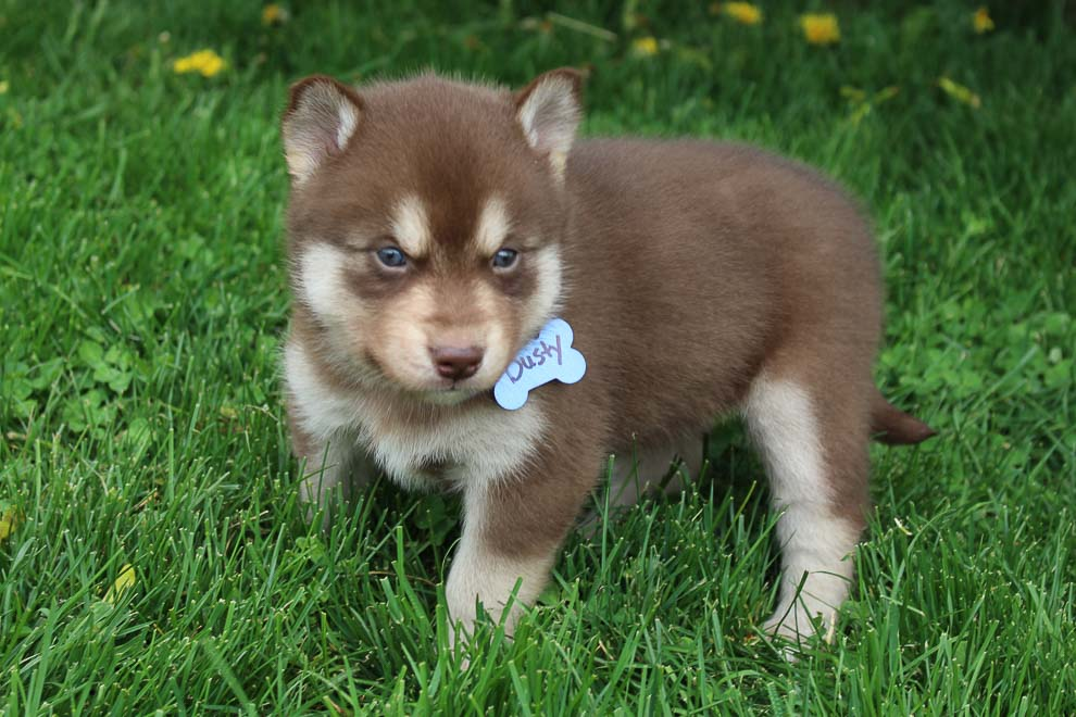 Dusty - male Pomsky-Husky pup for sale at South Witley, Indiana