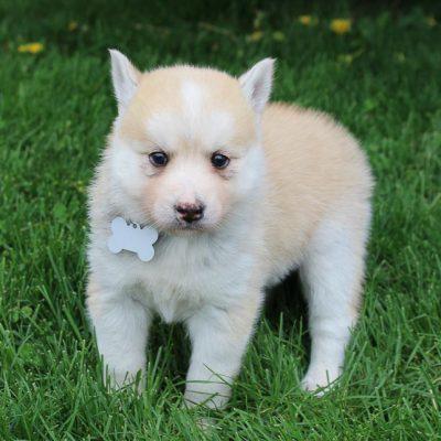 Lily - Pomsky-Husky female pupper for sale near South Witley, Indiana