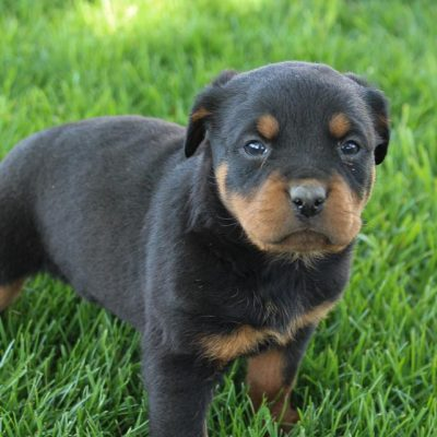 Emily - AKC Rottweiler female puppie for sale in New Haven, Indiniana