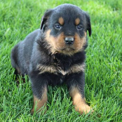 Erika - AKC Rottweiler female doggie for sale at New Haven, Indiniana